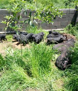 九峰香猪养殖环境